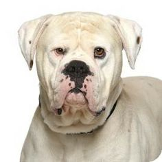 UPDATE STATUS: THIS BABY HAS BEEN ADOPTED!!!!! :-)))Santa Monica, CA - American Bulldog Mix. Meet Romeo a Dog for Adoption.
