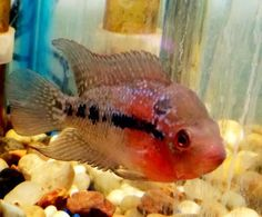 Red Dragon Flowerhorn Fry For Sale