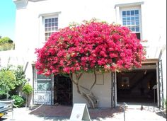 Bougainvillea tree- to get married under