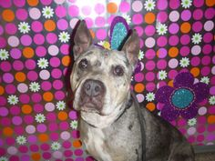 GIA - ID#A623283  My name is GIA.  I am a spayed female, black brindle and white Pit Bull Terrier mix.  The shelter staff think I am about 6...
