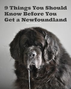 I believe that if 1/2 the people who think they want a Newfie knew the truth about Newfies, they wouldn't have one. When you look up Newfies on the internet some of the sites can be deceiving. Sure they list the pros and the cons but most of the time these are coming from people …