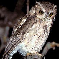 Balsas Screech Owl Image 1