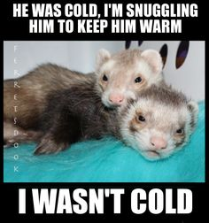 Ferrets Care, Baby Ferrets, Funny Ferrets, Pet Ferret, Hamsters, Animals And Pets, Baby Animals, Funny Animals, Cute Animals