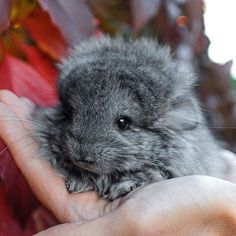 Baby Chinchilla... I want one!!