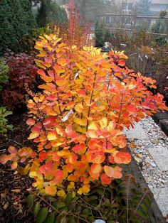 Cotinus coggygria GOLDEN SPIRIT 2