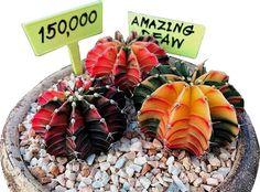 DEAW CACTUS นักสะสมและพัฒนาแคคตัส 3 พันธุ์ดัง - ต้นไม้และสวน Surat Thani, Desert Plants, Cacti And Succulents, Acai Bowl, Landscape Design, Deserts, Gardening, China, Nature