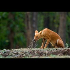 The look of Dhole (Asiatic Wild Dog). The most endangered Asiatic top predator, the dhole, is on the edge of extinction.