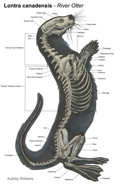 otter anatomy - Google Search