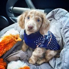 Augie (@augie.dachshund) is a 3-month-old longhaired Isabella dapple #mini #dachshund from #Montana. He enjoys car rides, cuddles, and chasing cats. Love his little sweater ❤️