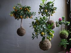 And of course the Japanese have been doing this for thousands of years. kokedama