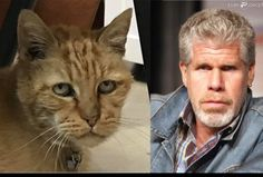 My cousin said my cat kind of looks like Ron PerlmanTorynado - http://asianpin.com/my-cousin-said-my-cat-kind-of-looks-like-ron-perlmantorynado/