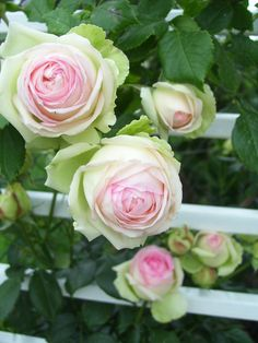 Eden Rose aka Pierre de Ronsard® (Meilland, Although not super fragrant, the green-cream-pink shades and cut flower abilities make this rose a standout.