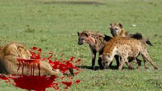 Lion vs Hyena Real Fight - Lion vs Hyena Fight To Death Documentary 2016