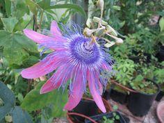 Passiflora 'Sweet surrender'