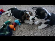A Corgi And Basset Hound Have A Puppy Playdate And I'm In Puppy Heaven! | The Animal Rescue Site Blog