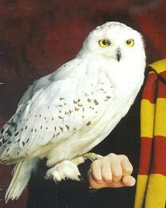 Hedwig From Harry Potter - Bing images