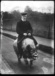 Wingfield Ampthill on his domestic saddled pig, 1914.