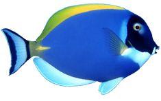 blue fish PNG image