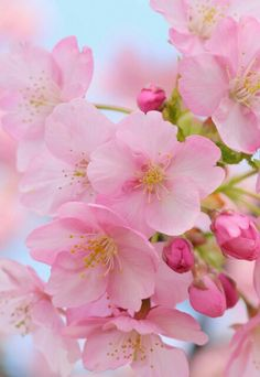 Cherry blossom.....