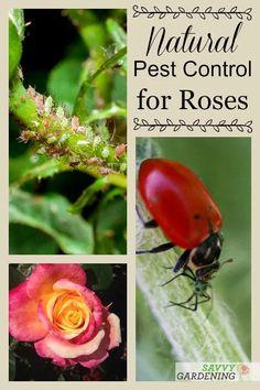 Rose Pests: Identification and Organic Controls for the Landscape Rose Garden Design, Cottage Garden Design, Cottage Garden Plants, Cottage Gardens, Organic Gardening, Gardening Tips, Organic Farming, Flower Gardening, Organic Roses