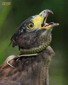 Philippine Serpent Eagle ok, now this is just weird..........