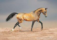 Golden Dun Akhal-teke Horse