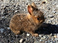 A brown rabbit resting on the rocks.