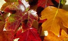 Preserving Fall Leaves With Wax