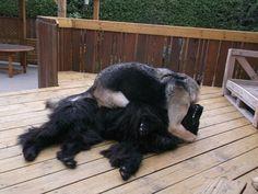 i never get enough of dog wrestling