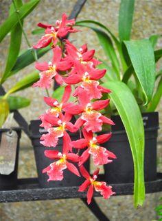 burrageara orchid
