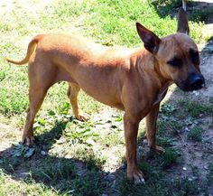 Kennel #05 - URGENT - LORAIN COUNTY DOG KENNEL in Elyria, Ohio - ADOPT OR FOSTER - Young Female Lab/German Shepherd Mix - Available 08/27/2016