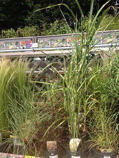 Decorative grass 5