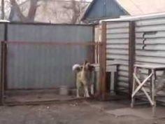 Como os russos acalmam seus cachorros....SOLTA O SOM DJ.... PLEASE WATCH THIS VID . He is soooo ADORABLE