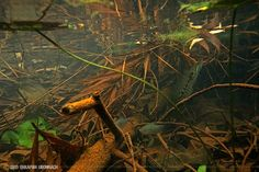 Trichogaster trichopterus and Channa sp. in their natural habitat Thailand Aquarium Setup, Glass Aquarium, Nature Aquarium, Planted Aquarium, Aquarium Fish, Aquarium Ideas, Tropical Freshwater Fish, Freshwater Aquarium, Tropical Fish