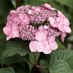 Hydrangea macrophylla 'PIIHM-I' is a reblooming lacecap with pink or blue flowers from June to frost. It grows 5 feet tall and wide. Zones 4-9