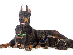 La comprensión de como los perros se comportan en la naturaleza puede ayudarnos a mejor satisfacer sus necesidades cuando los llevamos a nuestros hogares.  Cuando un cachorro llega al mundo, su prim