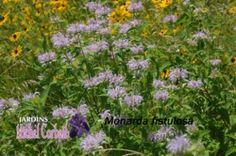 Monarde fistuleuse -  indigène  Cette plante, au feuillage aromatique, s'élève sur 1 à 1,50 m de hauteur. Fleurs rose lavande pâle. Elle croît sur un sol plus sec que la monarde ponctuée (Monarda punctata)  Cette espèce tolère une courte période de sécheresse. Ses fleurs attirent les oiseaux-mouches. Un emplacement ensoleillé ou légèrement ombragé est requis pour son épanouissement. La floraison  juillet à septembre. Excellente rusticité (zone 3).
