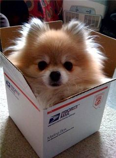 pomeranian.... I want this lil guy to be sent to MEEEEE!!!! LOL