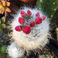 bloom watch . . . #bloomwatch #cactusflower #bloom #cactus #cacti #cactus #cactuscollection #mammillaria #succulents #succulentaddict #succulentgardens #urbanjungle #fuzzycactus #fuzzyplant #weekendvibes #austin #atx #sxsw #eastaustin #shoplocalaustin #eastaustinsucculents #eastaustinsuccs