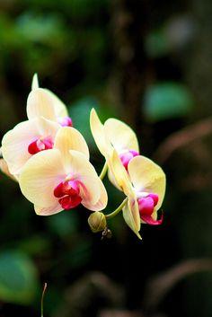 Orchid, my fav flower