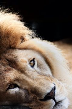 The King. Let him live in peace. https://secure.avaaz.org/en/petition/Stop_Lion_Trophy_Hunting/?pv=6