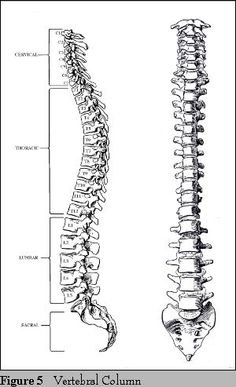 Labelled diagram of spinal (vertebral) column, side-view