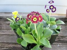 Primula auricula - same family as Lilly Toxic Plants For Cats, Primula Auricula, Simple Signs, Poisonous Plants, Houseplants, Berries, Nature, Flowers, Naturaleza