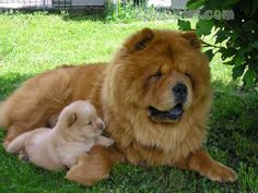 Chow Chow dog breed information with pictures. Description of Chow Chow. Interes… Chow Chow dog breed information with pictures. Description of Chow Chow. Interesting facts and breed history. Perros Chow Chow, Chow Chow Dogs, Chow Puppies, Labrador Puppies For Sale, Dogs And Puppies, Doggies, Beagle Puppies, Dog Breeds Pictures, Dog Pictures