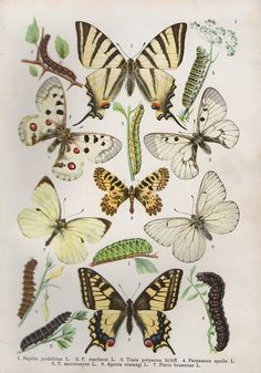 1919 butterflies & caterpillars insect print by PaperThesaurus Illustration Botanique, Butterfly Illustration, Butterfly Drawing, Illustration Art, Caterpillar Insect, Sibylla Merian, Chenille, Antique Prints, Botanical Prints