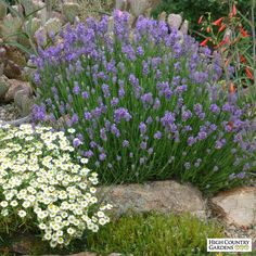 HBLN321,Lavandula angustifolia 'Wee One',Wee One Dwarf English Lavender with Melampodium