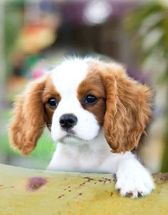 "Cavalier King Charles Spaniel, awwww MY FAV DOG...i want one. Is it ok to call a puppy a ""product I love""? But seriously, I want this dog."