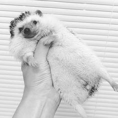 むぎゅっと変な持ち方してごめんよ#hedgehog #はりねずみ #ハリネズミ #里芋会 #若頭ログ