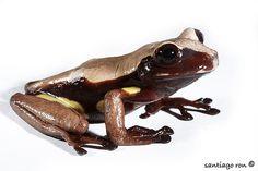 Brown-eyed Treefrog