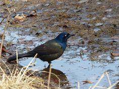 Quiscale-bronze-Quiscalus-quiscula-Common-grackle-Bronzed-crow-blackbird